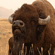 Bison Bellowing At The Sky Poster