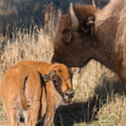 Bison Calf And Its Mother Poster