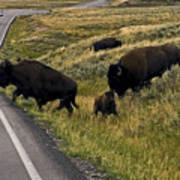 Bison Disrupting Traffic Poster