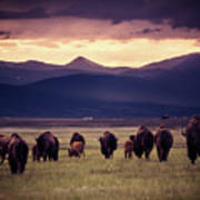 Bison Herd Into The Sunset Poster