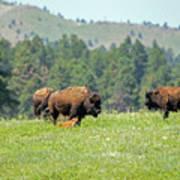 Bison Herd Poster