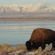 Bison In Front Of Snowy Mountains Poster by Mathew Levine
