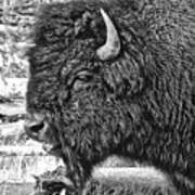 Bison Poster