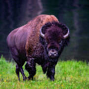 Bison Of Yellowstone Poster