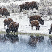 Bison Snow Reflecton Poster