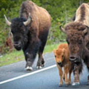 Bison Walking Poster