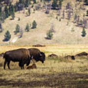 Bison With Calf Poster