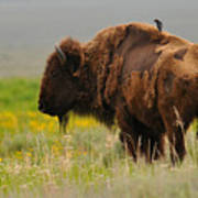 Bison With Cowbird On Back Poster