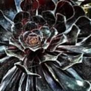Black Aeonium Poster
