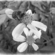 Black And White Bee Poster