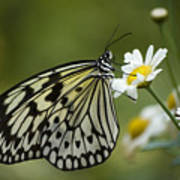 Black And White Butterfly On A Daisy Poster