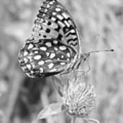 Black And White Butterfly On Clover Poster
