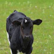 Black And White Calf Standing In A Field Poster