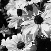 Black And White Coneflowers Poster