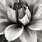Black And White Dahlia Poster