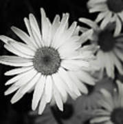 Black And White Daisy 1 Poster