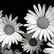 Black And White Daisy 2 Poster