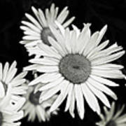 Black And White Daisy 3 Poster
