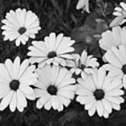 Black And White Daisy Garden Poster