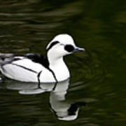 Black And White Duck Poster