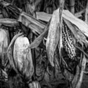 Black And White Ear Of Corn On The Stalk Poster