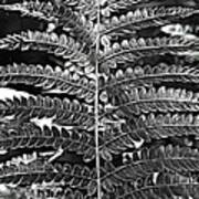 Black And White Fern Poster