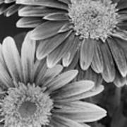 Black And White Gerber Daisies 2 Poster