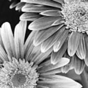 Black And White Gerber Daisies 3 Poster