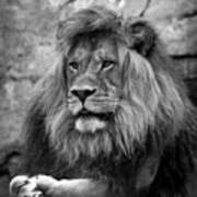 Black And White Lion Pose Poster