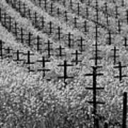 Black And White Mustard In The Vineyard  Napa Ca. Poster