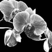 Black And White Orchid Poster