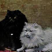 Black And White Persians Poster