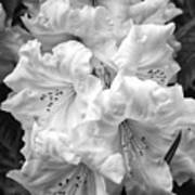 Black And White Rhododendron Poster