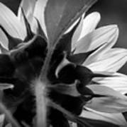 Black And White Sinflower 6 Poster