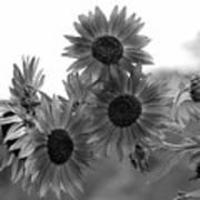 Black And White Sunflowers Poster
