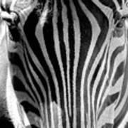 Black And White Zebra  Poster