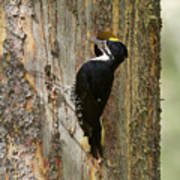 Black-backed Woodpecker Poster