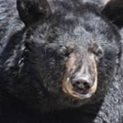 Black Bear 1 Poster