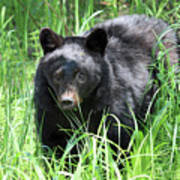 Black Bear Cub In The Grass Poster
