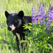 Black Bear Hiding Behind Lupines Poster