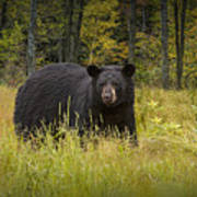 Black Bear In The Grass Poster