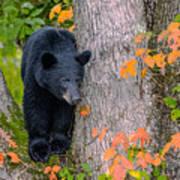 Black Bear In Tree Poster
