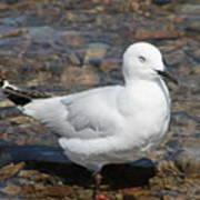 Black-billed Gull Poster