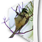 Black-capped Chick-a-dee Poster