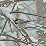Black Capped Chickadee - Poecile Atricapillus Poster