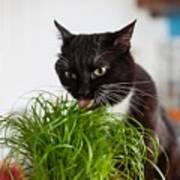 Black Cat Eating Cat Grass Poster