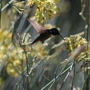Black Chinned Hummingbird In Flight Poster