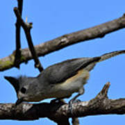 Black Crested Titmouse Poster