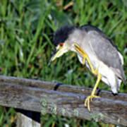 Black Crown Night Heron Scratching Poster