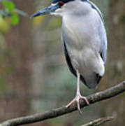 Black Crowned Night Heron IIi Poster